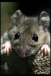 Brown Mouse I by UffdaGreg