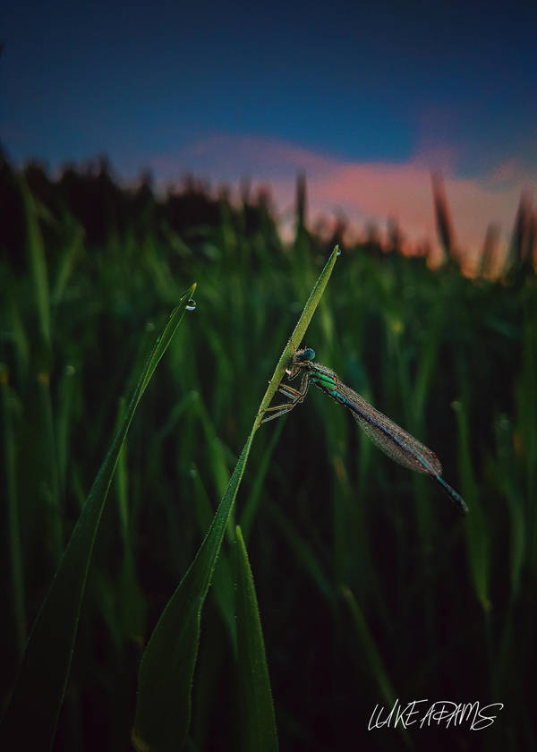 Damselfly by Purpleskulls