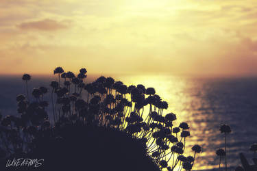 Clifftop Thrift by Purpleskulls