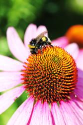 Closeup bumblebee by jaehneARTS