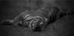 Tiger 9 by Sealyanphoenix