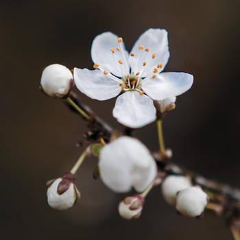 Spring Flower by RadoslawSass