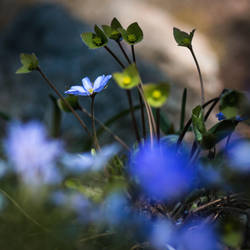 Blue Flower by RadoslawSass