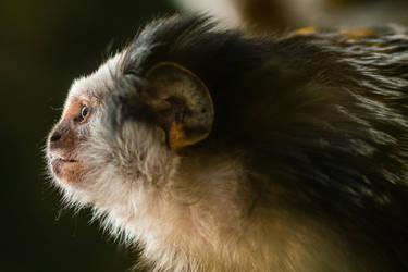 Monkey profile by RadoslawSass