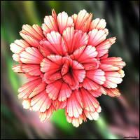 In bloom by poca2hontas