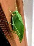 Giant Leaf Bug by m-angel05