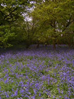 Bluebell Woods 6 by The-strawberry-tree