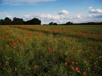 Poppy field 9 by The-strawberry-tree