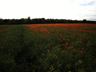 Poppy field 10 by The-strawberry-tree