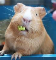 Guinea pig by martiinej