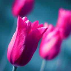 Pan Tulipan by fogke