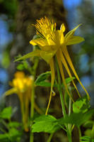 Columbine Flower by sapoguapo