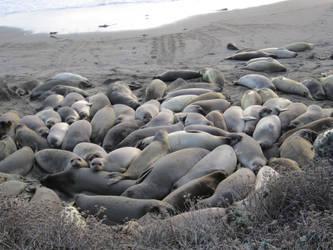 Piedras Blancas, Seals, California by randomeye713