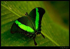 Butterfly by FearDesign