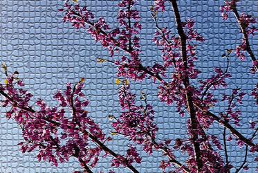 Redbud Tree by mirroreyes1