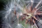 Dandelion by Xenia-Seurat