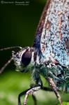 Little Blue Butterfly by Xenia-Seurat