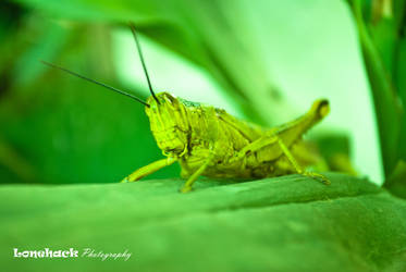 The Grasshopper by dmspram