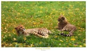 Resting cheetahs by SonNycZ