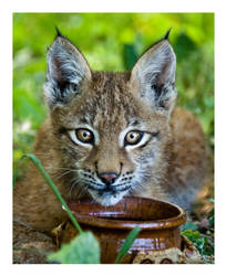 Jazz the Siberian Lynx 02 by cutterp
