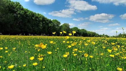 Buttercup Field by Becky125