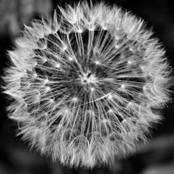 Dandelion by Becky125