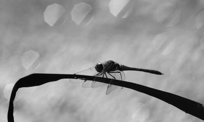 Dragonfly by Becky125