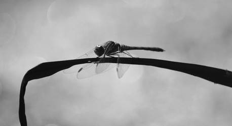 Dragonfly 2 by Becky125