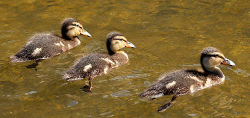 Sunshine Ducklings by Becky125