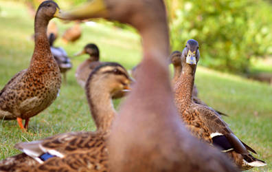 Photobomb Duck by Becky125