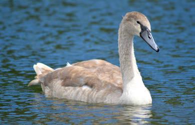 Cygnet/Swan by Becky125
