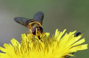 Little black photo-bombing beetle by pell21