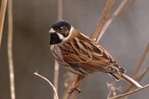Male Reed Bunting 3-2-18 by pell21