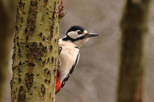 Great Spotted Woodpecker 3-2-18 by pell21