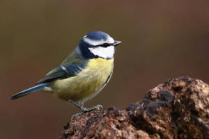Blue Tit 10-2-18 by pell21