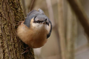 Nuthatch 18-3-18 by pell21