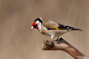 Goldfinch 21-3-18 by pell21