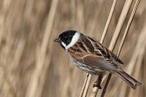Male Reed Bunting by pell21