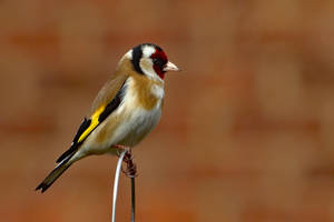 Goldfinch 1 30-3-18 by pell21