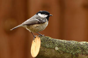 Coal Tit 2-4-18 by pell21