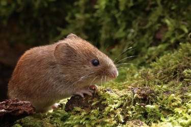 Bank Vole 7-4-18 by pell21