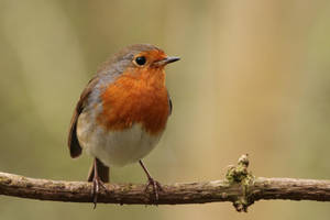 Robin 12-4-18 by pell21