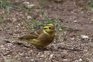 Yellowhammer 15-4-18 by pell21