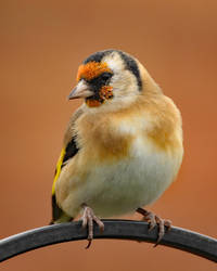 Goldfinch 27-10-18 by pell21