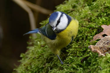 Blue Tit 15-12-18 by pell21