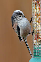 Long-tailed Tit 19-1-19 by pell21