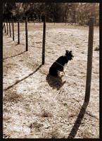 Dixie - Border Collie by sugabear