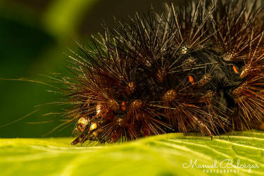 Hairy caterpillar III by mabl65