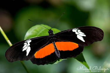 Mexican longwing by mabl65