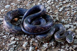 Central Ratsnake by NathanLParker
